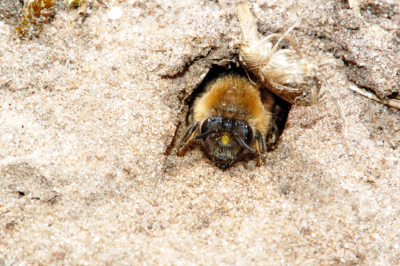 Wildbienen nisten am Boden