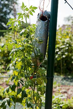 tomaten pflanzen kopf ber und kinderleicht. Black Bedroom Furniture Sets. Home Design Ideas
