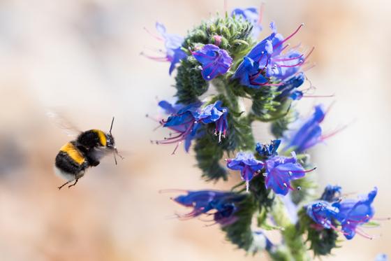Hummel ist eine Biene