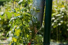 Tomaten pflanzen: kopfüber und kinderleicht