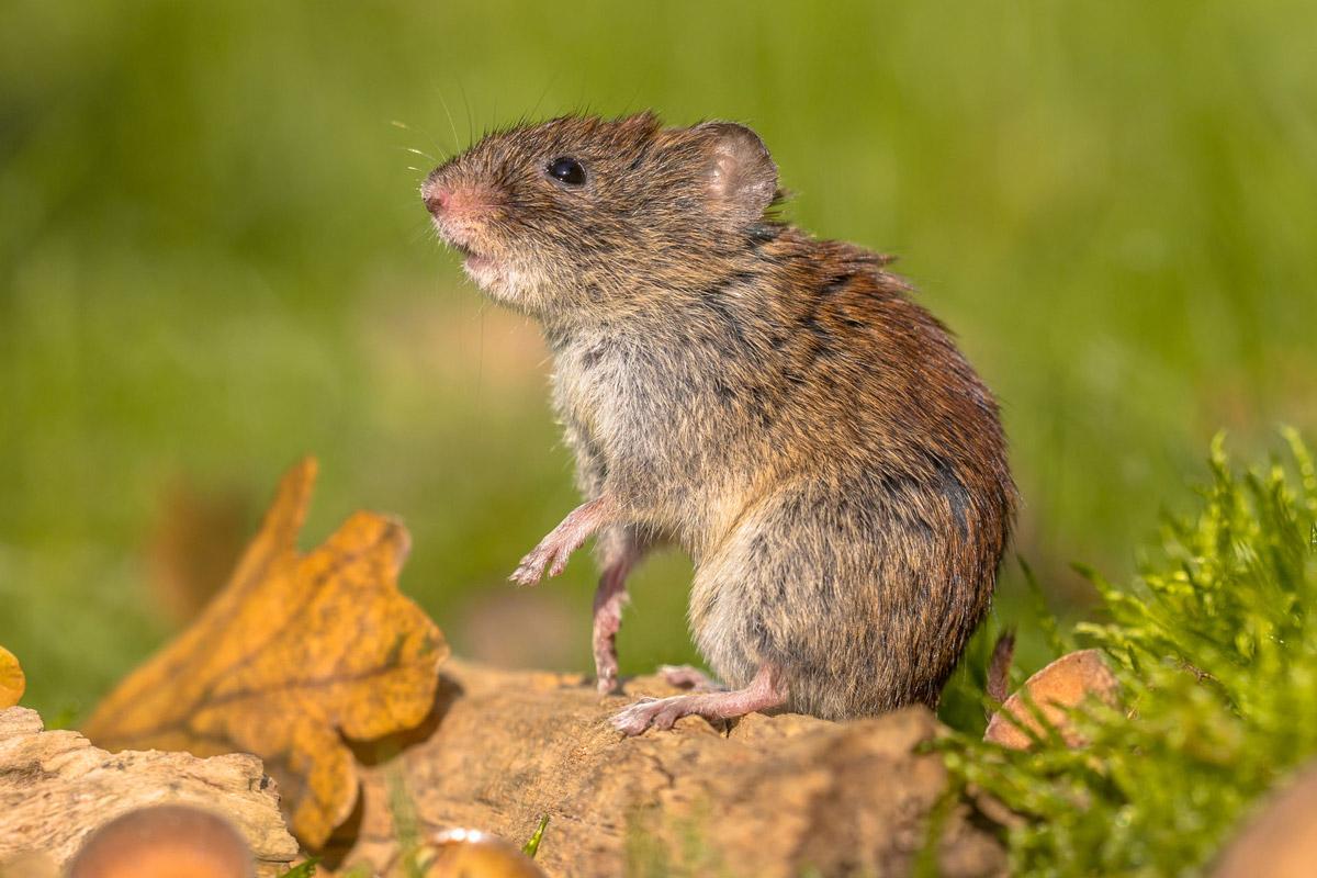 Der Überträger des Hantavirus: die kleine Rötelmaus