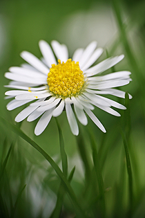Wildkräuter: Ganseblümchen