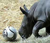 Trippelstark: Fußball spielendes Nashornbaby