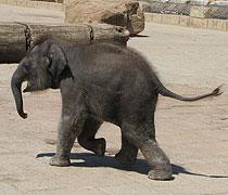 Nuka heißt eines der Elefantenbabys im Zoo Hannover