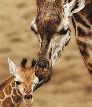 Giraffenfamilie im Burgers' Zoo
