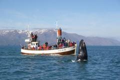 Wale beobachten auf Island