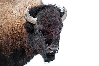 Chinesisches Sternzeichen Büffel