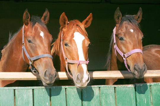 Pferde im Stall: Reiterferien