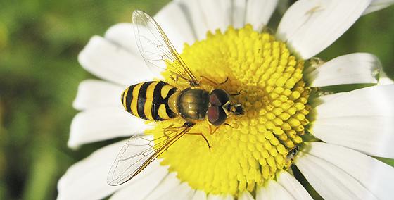 Insektenstiche: Wespe