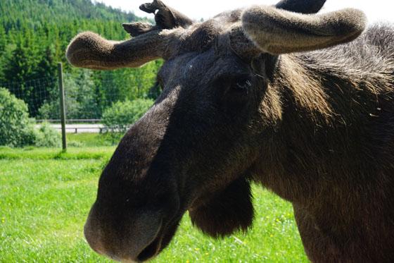 Dalsland - Schweden: Elche