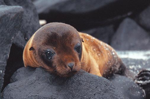 Galápagos-Seelöwenbaby
